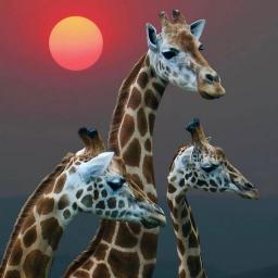 Жирафули