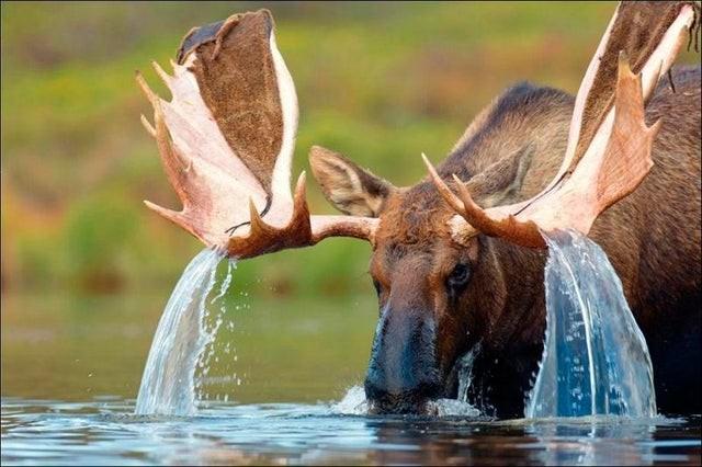 Лосяра в воде