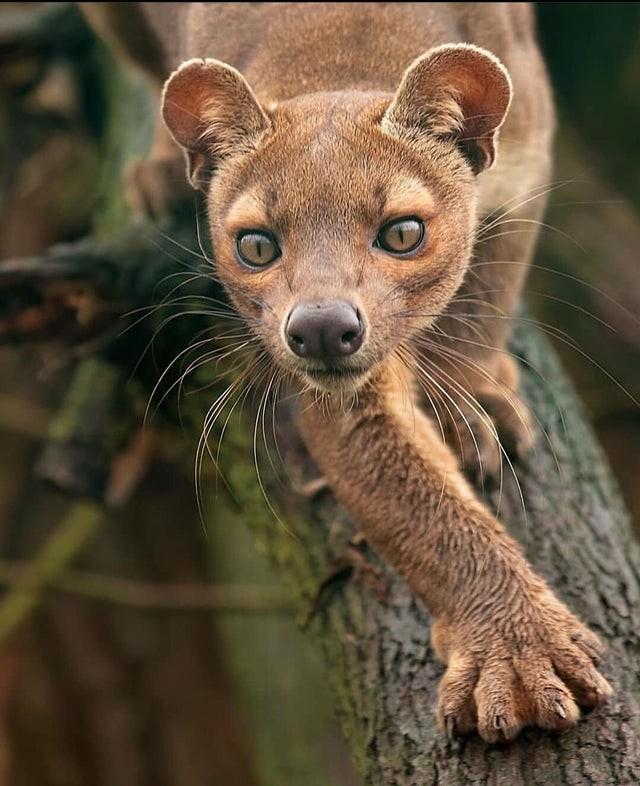 Какая-то красивая животина Фосса