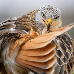 Орёль
